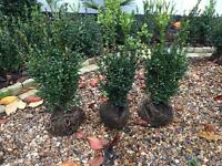 13 box hedge plants for sale 45-50cm high £25 for all of them