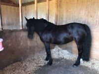 Welsh Cob Section D Mare for sale