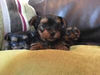 Yorkshire terrier puppies yorkie