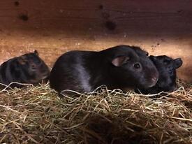 Choc/Tan and black/Tan Guinea pigs