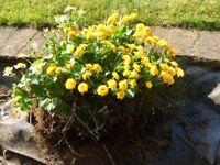 3 x mature marginal pond plants - just £5 each