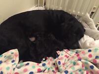 Labrador black pups