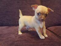 Kc smooth coat chihuahua puppies