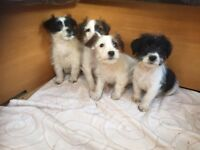 Sealyham X jack russell puppy's for sale