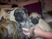 I have 3 kc registered pugs