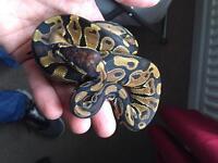 Surplus pythons