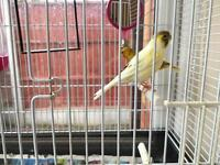 TWO CANARY BIRDS. COMPLETE WITH NEW CAGE ETC