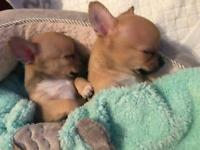Chihuahua puppies looking for new home