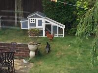 2 laying chickens/hens with house