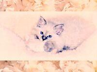 Stunning Rare Siberian Blue Lynx Neva Masquerade Kittens For Sale