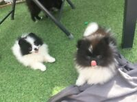 Tiny outstanding Pomeranian puppies