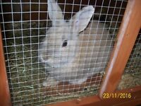 Male Rabbits Free to Good Home