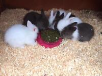 Stunning double maned lionhead baby rabbits.