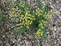 Allium Moly bulbs