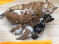 Beautiful ginger kittens