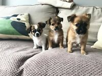 Jack Russell Chihuahua cross Poodle Shihtzu female puppies