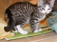 2 unusual Kittens -silver tabby/tortoiseshell (a cat is for life not just for Christmas!)