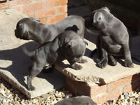 Chunky Blue Kc Staffy Pups,5 Boys And 4 Girls
