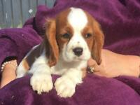 Cavalier King Charles Spaniel (Fully Vaccinated)
