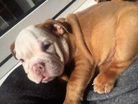 Beautiful Kc reg British bulldog girl