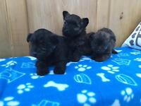 Westie x Yorkshire terrier puppies for sale!
