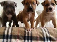 Staffordshire Bull Terrier Puppies For Sale - Nottingham