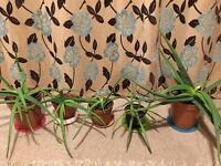 Aloe Vera plants 5x