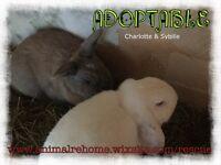 Bonded pair bunnies
