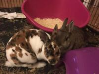 2 Beautiful 6month Old Dwarf Rabbits + Hutch