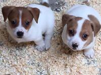 Jack Russell Pups (small breed)