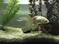 Goldfish and tank