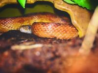 Corn Snake with Tank & Accessories