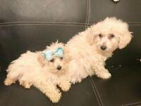 Malshi (Maltese x Shih Tzu) puppies