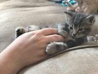 Grey and ginger kitten
