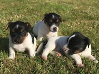 3 jack russell puppies
