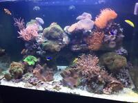 Live soft coral for marine tank