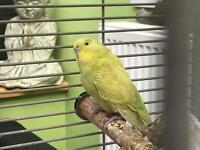 Baby budgie bird