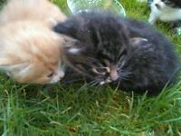 Persian kittens for sale £95 each