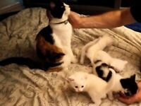 3 cute kittens left to reserve - ready on 15 August