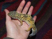 Juvenile wild type leopard gecko