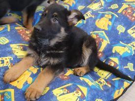 Ready today German Shepherd Pups