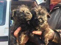 Beautiful little norwest puppies (Norfolk terrier x westie)