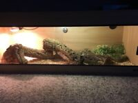 Bearded dragon with 4ft Vivarium + full setup