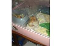 Long haired Syrian male hamster with cage