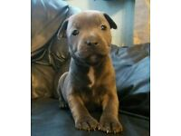 K.C Reg'd Blue Staffordshire Bull Terrier Pups for sale