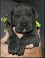 Blue Great Dane Pups CKC Reg, Full European bred