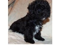 Boy toy poodle for sale 500 pounds flea and wormed looking for a loving home