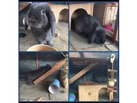 Lop blue rabbit 1 year old