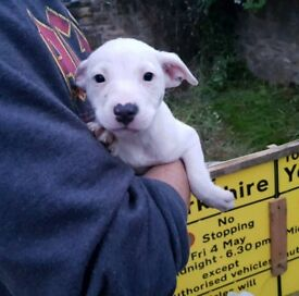 Staffy pups for sale. Staffordshire Bull Terriers