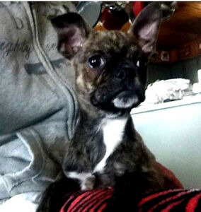 Frenchie/Pug (Frug) Puppies
